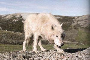 Волк с канадского острова Элсмир (с) Дэвид Мич