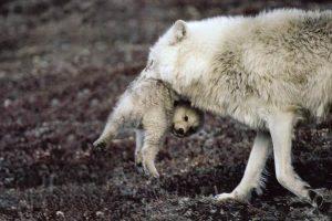 Мать с волчонком (с) Дэвид Мич