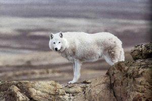 Любопытный волк (с) Дэвид Мич