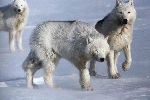 Волки с острова Элсмир (с) Дэвит Мич
