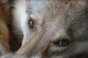 Чехословацкая волчья собака Клаудии