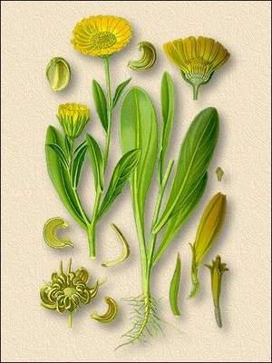 Травы для гигиены глаз, календула