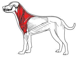 Вред ошейника для мышц собаки