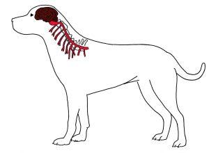 Вред ошейника спинному мозгу и нервам собаки