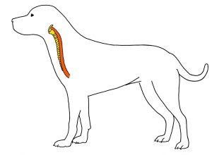 Вред ошейника для трахеи и пищевода собаки