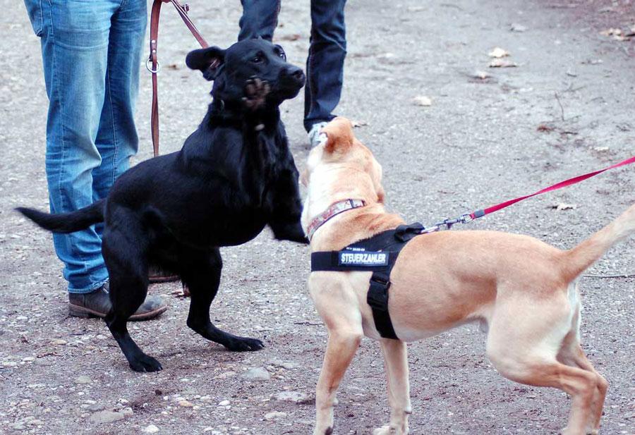 Две собаки на поводках