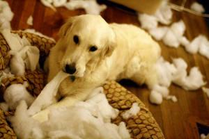 собака разгрызла свою лежанку (c) twonickels / flickr.com