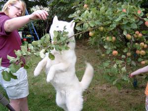 собака ест яблоки (c) Pommiebastards / flickr.com