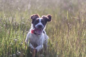 собака бежит по лугу (c) Nik Stanbridge / flickr.com