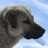 Пастушья охранная собака