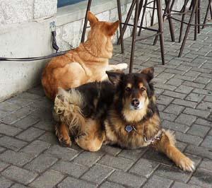 Сигналы примирения в действии: собаки легли так, чтобы не вызывать друг у друга стресс, то есть не создавать ситуацию с потенциальной агрессией