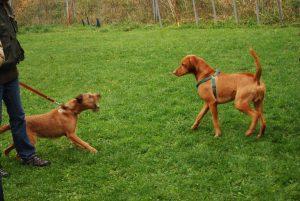 Агрессия собаки на поводке, свободная собака пытается успокоить ее сигналом примирения
